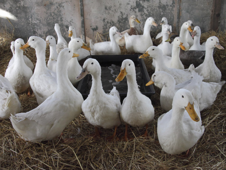 RSPCA-Ducks-Forster-Communications